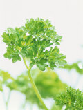 Parsley Photographic Print by Friedrich Strauss
