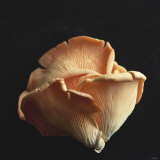 Oyster Mushrooms Photographic Print by Michael Paul