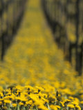 Ecological Viticulture Photographic Print by Armin Faber
