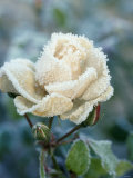 White Rose with Ice Crystals Photographic Print by Elke Borkowski