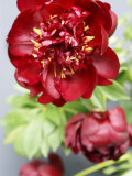 Red Peonies Fotografie-Druck von Sebastian Vogt
