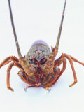 A European Spiny Lobster Photographic Print by Peter Medilek