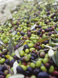 Olive Harvest (Tenuta San Vito, Tuscany, Italy) Photographic Print by Hans-peter Siffert