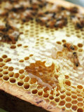 A Honeycomb with Bees Photographic Print by Matilda Lindeblad