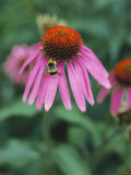 Purple Coneflower (Echinacea Purpurea) with Bee Photographic Print by Ottmar Diez
