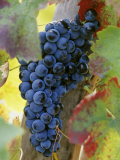 Aglianico Grapes (Grown in Campania and Basilicata) Photographic Print by Hans-peter Siffert