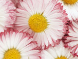 Several Daisies Photographic Print by Marc O. Finley