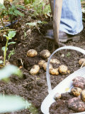 Harvesting Potatoes: Lifting Potatoes out of Ground with Fork Photographic Print by Linda Burgess