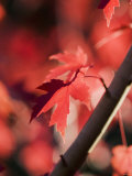 Red Maple Leaves Photographic Print by Jana Liebenstein