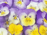 Yellow and Purple Pansies Photographic Print by Linda Burgess