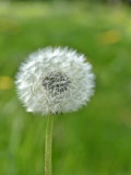 A Dandelion Clock in a Field Photographic Print by Bodo A. Schieren