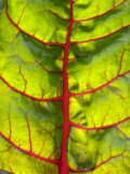 A Chard Leaf Photographic Print by Ottmar Diez