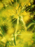 Dill with Flowers Photographic Print by Ulrike Holsten