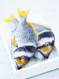 Two Yellowfin Seabream on Ice Fotografisk tryk af Marc O. Finley