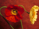 Red & Yellow Iceland Poppies (Papaver Nudicaule, Ornamental) Photographic Print