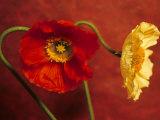 Red & Yellow Iceland Poppies (Papaver Nudicaule, Ornamental) Photographic Print