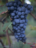 Furmint Grapes, Aosta Valley, Italy Photographic Print by Hans-peter Siffert