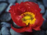 Red Iceland Poppy (Papaver Nudicaule) Photographic Print
