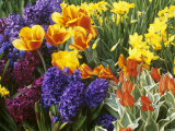 Mixed Flowering Bulbs: Tulips, Narcissi, Hyacinths Photographic Print by Elke Borkowski