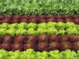 Lettuce Field Photographic Print