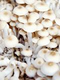 Enokitake Mushrooms Photographic Print by Ming Tang-evans
