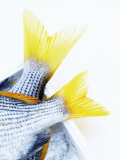 Tails of Two Yellowfin Seabream Photographic Print by Marc O. Finley