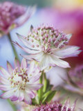 Masterwort (Astrantia Major Rubra, Close-Up) Photographic Print by Linda Burgess