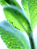Sage Leaves Photographic Print by Dorota & Bogdan Bialy