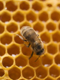 Honeycomb with Bee Photographic Print