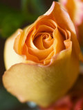 A Yellow Rose Photographic Print by Jana Liebenstein