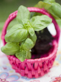 Basil Plants in Pink Basket Photographic Print