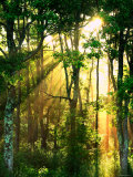 Sunbeams Through the Trees Photographic Print