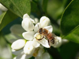 Bee and Orange Blossoms Photographic Print
