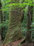 Japanese Cedar Photographic Print