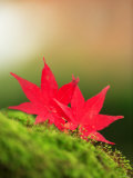 Fallen Maple Leaves Photographic Print