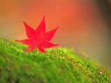 Maple Leaf on Moss Photographic Print