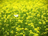 Butterfly in the Rape Field Photographic Print