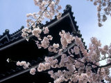 Cherry Blossoms, Matsue Castle, Shimane, Japan Photographic Print
