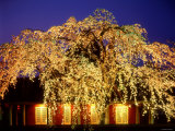 Night View of the Weeping Cherry Tree Photographic Print
