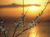 Plum Blossoms at Sunset, Ehime, Shikoku, Japan Photographic Print
