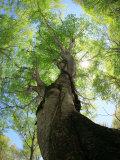 Birch Tree Reprodukcja zdjęcia