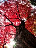 Old Maple Tree in Autumn Reprodukcja zdjęcia