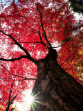 Old Maple Tree in Autumn Photographic Print