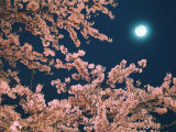 Cherry Blossoms and Full Moon Photographic Print
