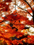Maple Leaves and Shinnyo-Do Temple Photographic Print