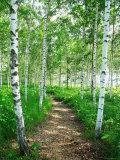 White Birch Lane - Fotografik Baskı