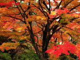 Maple Leaves Fotografie-Druck