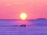 Pair of Fox in Winter Morning Photographic Print