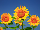 Sunflower Photographic Print