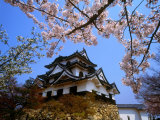 Cherry Blossoms and Hikone Castle Photographic Print